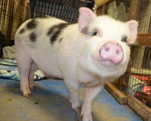 Pot Bellied Pig Characteristics