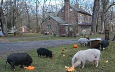 Ross Mill Is Piggy Heaven