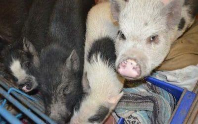 Pet Pig Breeding Practices