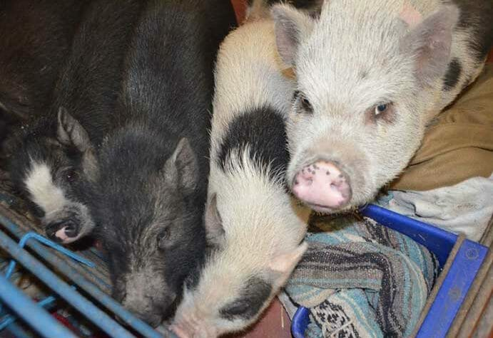 Pet Pig Breeding Practices