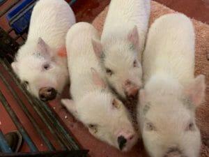 pig's aggressive behavior