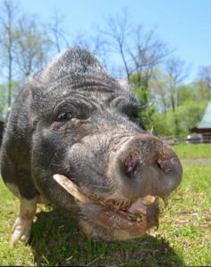 Older pig