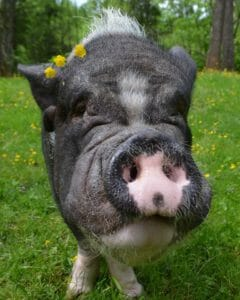 Pet Pig Myths and Facts | Ross Mill Farm